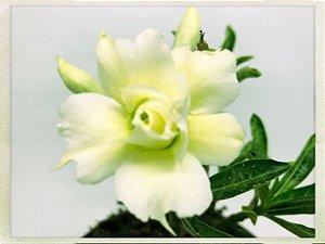 Muda Rosa do Deserto de semente com flor dobrada na cor Amarelo