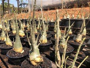 Rosa do Deserto Adenium Arabicum - Kit com 10 plantas - 2,5 Anos