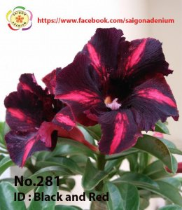 Sai Gon Adenium - MIX com 5 sementes - MIX 5