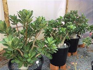 Rosa do Deserto - Adenium Arabicum - Kit com 25 sementes