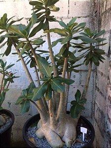 Rosa do Deserto - Adenium Arabicum - Kit com 100 sementes