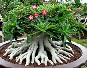 Adenium Thai Socotranum MIX - Kit com 50 sementes