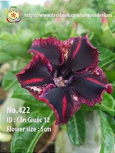 Sai Gon Adenium - MIX com 5 sementes - MIX 9