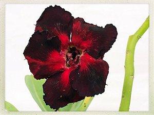 Muda Rosa do Deserto de semente com flor dobrada na cor Vermelha e Preta
