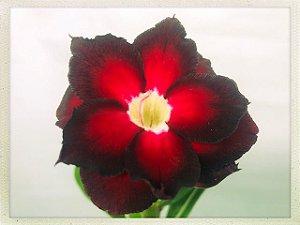 Muda Rosa do Deserto de semente com flor dobrada na cor Vermelha e Preto