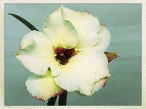 Muda Rosa do Deserto de semente com flor dobrada na cor Creme