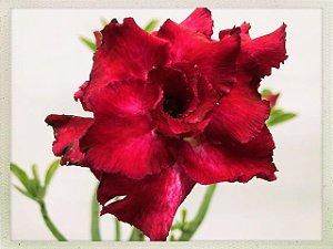 Muda Rosa do Deserto de semente com flor tripla na cor Vermelha