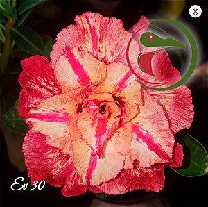 Muda Rosa do Deserto de enxerto com flor tripla na cor matizada - EV30