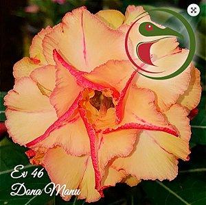 Muda Rosa do Deserto de enxerto com flor tripla na cor matizada - EV46