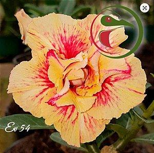 Muda Rosa do Deserto de enxerto com flor dobrada na cor matizada - EV54