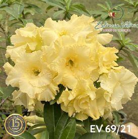 Muda Rosa do Deserto de enxerto com flor dobrada na cor amarela - EV69/21
