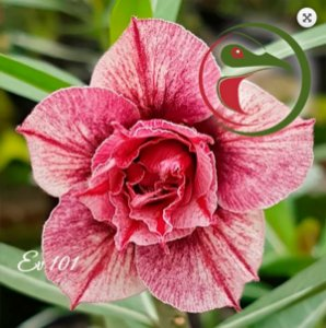 Muda Rosa do Deserto de enxerto com flor tripla na cor matizada - EV101