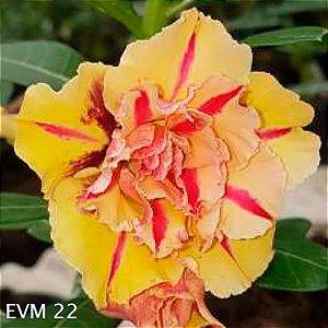Muda Rosa do Deserto de enxerto com flor tripla na cor amarela - EVM22