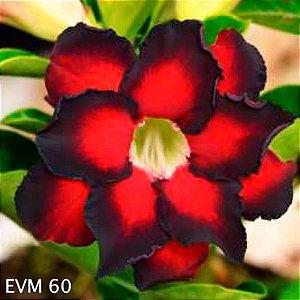 Muda Rosa do Deserto de enxerto com flor dobrada na cor vermelho e preto - EVM60