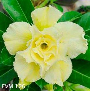 Muda Rosa do Deserto de enxerto com flor tripla na cor amarela - EVM126