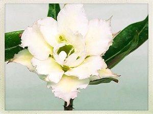Muda Rosa do Deserto de semente com flor tripla na cor Branca