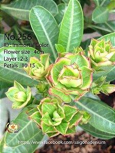 Sai Gon Adenium - MIX com 25 sementes - MIX 11