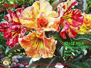 Sai Gon Adenium - MIX com 25 sementes - MIX 13