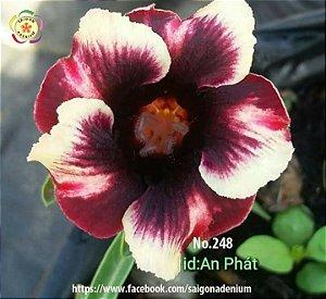 Sai Gon Adenium - MIX com 25 sementes - MIX 15
