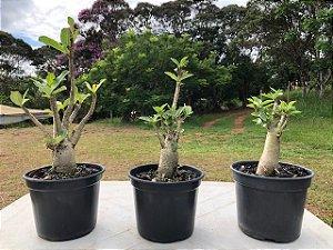Trio Adenium Thai Socotranum