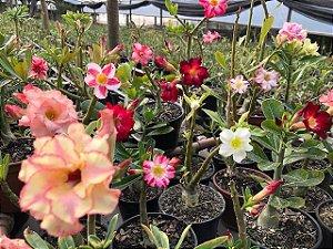 Muda de Rosa do Deserto de sementes (SaiGon) com flores simples, dobradas e triplas. Cores variadas.