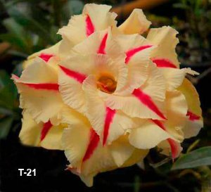 Enxerto de uma cor com flor tripla - T-21 - Nacional