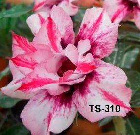 Enxerto de uma cor com flor dobrada - TS-310 - Nacional
