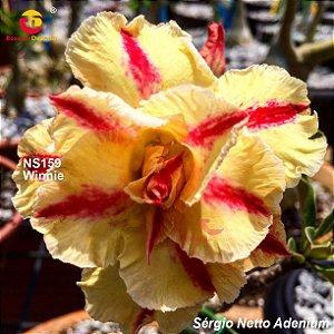 Enxerto de uma cor com flor tripla - Winnie II - Importada