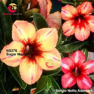 Enxerto de uma cor com flor simples - NS276 (Sugar Maple - Camaleão) - Importada