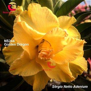 Enxerto de uma cor com flor tripla - NS244 (Golden Dragon) - Importada