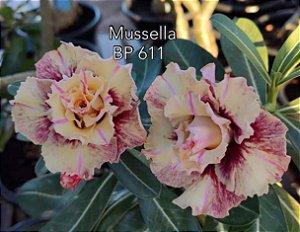 Enxerto de uma cor com flor tripla BP 611 (Mussella) - Importada