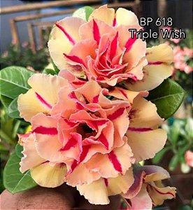 Enxerto de uma cor com flor tripla BP 618 (Triple Wish) - Importada