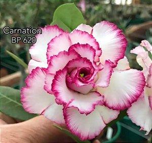 Enxerto de uma cor com flor tripla BP 620 (Carnation) - Importada