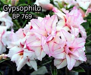 Enxerto de uma cor com flor tripla BP 769 (Gypsophila) - Importada