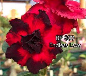 Enxerto de uma cor com flor dobrada BP 800 (Endless Love) - Importada