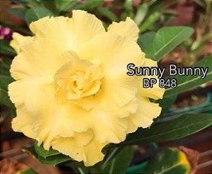 Enxerto de uma cor com flor tripla BP 848 (Sunny Bunny) - Importada