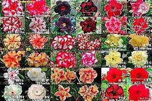 MIX com 30 sementes de flores simples, dobradas e triplas - Yang Ming