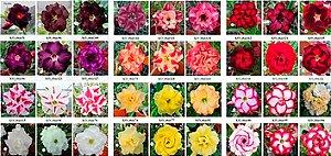 MIX com 5 sementes de flores simples, dobradas e triplas - Mr. Ko