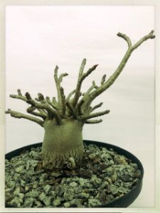 Thai Socotranum Adulta