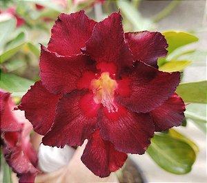 Planta adulta de Rosa do Deserto de enxerto com flor dobrada na cor Vermelha