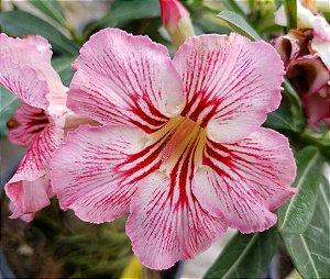 Planta adulta de Rosa do Deserto de enxerto com flor simples na cor Matizada
