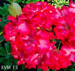 Muda Rosa do Deserto de enxerto com flor dobrada bouquet na cor Rosa - EVM13