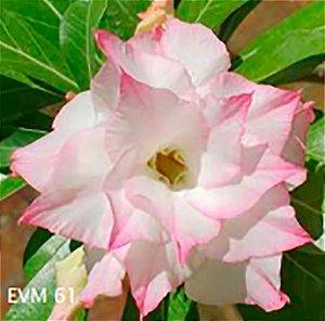 Muda Rosa do Deserto de enxerto com flor dobrada na cor Branca e Rosa - EVM61