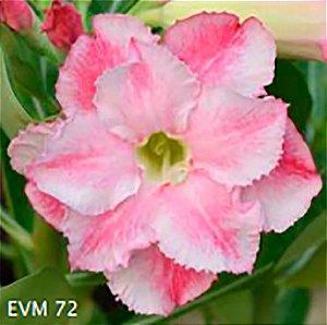 Muda Rosa do Deserto de enxerto com flor dobrada na cor Rosa e Branca - EVM72