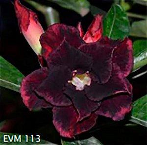Muda Rosa do Deserto de enxerto com flor dobrada na cor Preta - EVM113
