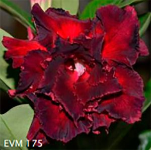 Muda Rosa do Deserto de enxerto com flor tripla na cor  Vermelha e Preto - EVM175