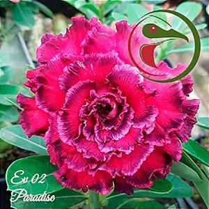 Muda Rosa do Deserto de enxerto com flor quádrupla na cor Matizada - EV02