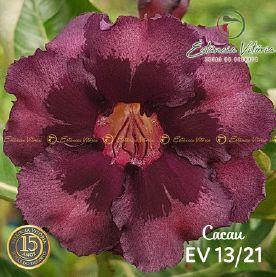 Muda Rosa do Deserto de enxerto com flor dobrada na cor Vinho - EV13/21 Cacau