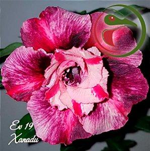 Muda Rosa do Deserto de enxerto com flor dobrada na cor Matizada - EV19