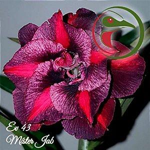 Muda Rosa do Deserto de enxerto com flor dobrada na cor Matizada - EV43
